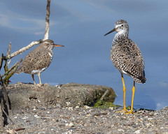 Spotted Sandpiper and Lesser Yellowlegs