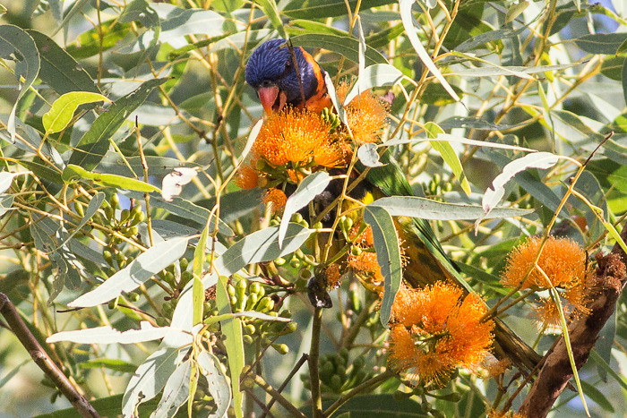 Red-collared Lorikeet