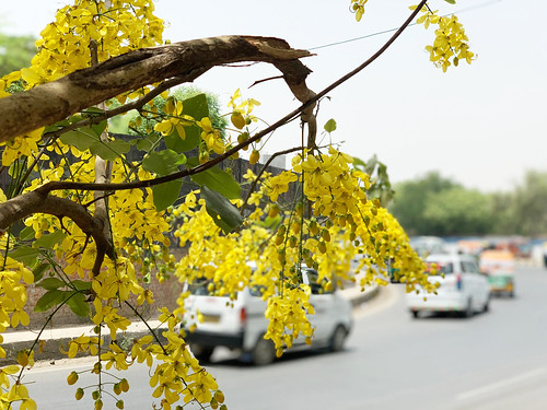 City Season - The Summertime Amaltas Flowers, Sukhrali Village, Gurgaon