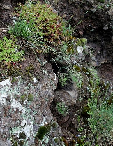 Poa bulbosa v. vivipara - pâturin bulbeux, pâturin vivipare 33939932638_73200a569a