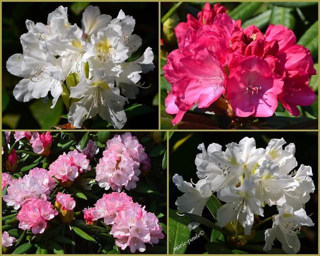 Rhododendron Vielfalt-ich wünsche euch allen ein erholsames Wochenende.♥lichen Dank für die Sterne und Kommentaren