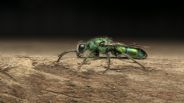 Cuckoo wasp or emerald wasp (Chrysididae)
