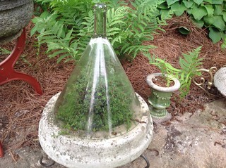 Cloches and terrarriums Planted with hardy hosta,ferns and ephemerals