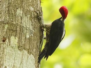 Crimson-crested Woodpecker - Darién Province, Panama