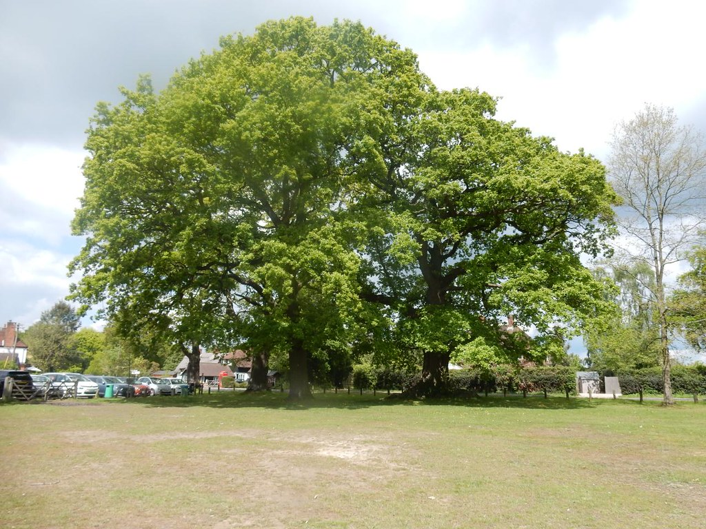 Big oaks Bucklebury Aldermaston to Woolhampton