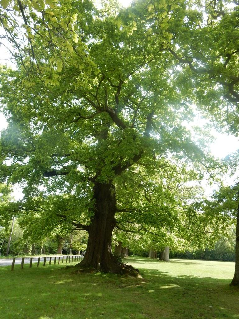 Bucklebury - avenue of oaks Aldermaston to Woolhampton