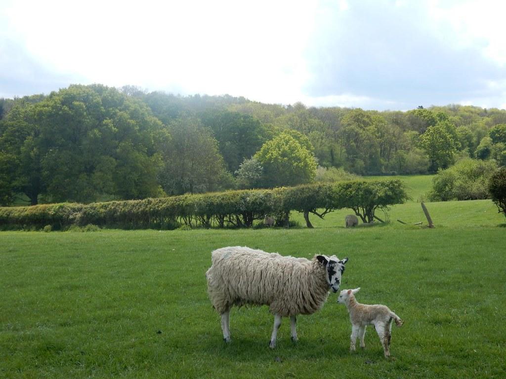 Newborn lamby with its mammy Aldermaston to Woolhampton