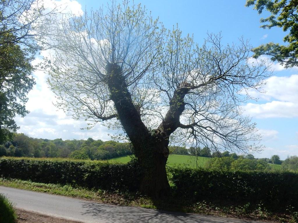 Forked tree Aldermaston to Woolhampton