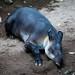 Napping Tapir