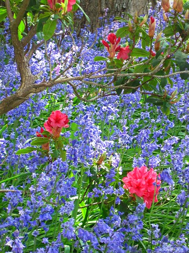 Bluebells And Rhodo's