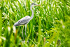 Garza mora - White-necked heron by Diego Kondratzky