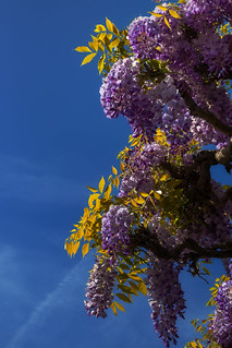 @//// \\@ Aquilegia Double Purple ◕‿◕