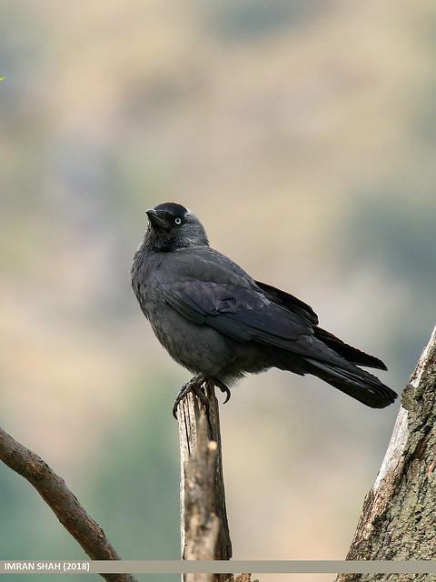 Eurasian Jackdaw (Corvus monedula)