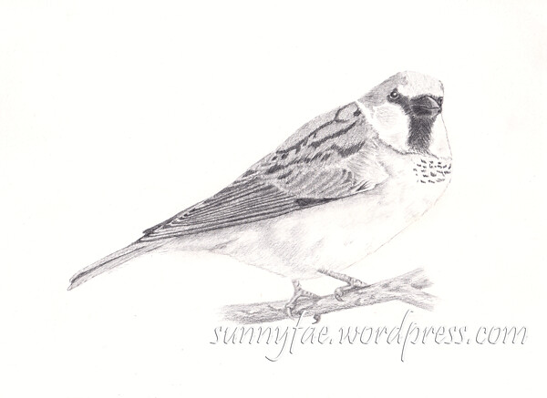 graphite drawing of a sparrow