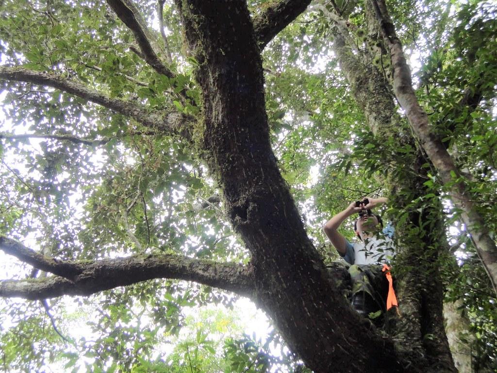 坐在波緣葉櫟樹上的林奐慶,一邊觀察一邊收集殼斗科植物的訊息。圖片來源:林奐慶
