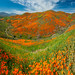 Huge Multishot Panorama Stitched in Lightroom! Walker Canyon Trail Lake Elsinore Poppy Fields Poppy Reserve Spring Poppy Apocalypse! Sony A7RII Sony FE 16-35mm f/2.8 GM Lens Gmaster Lens! California Poppies Orange Wildflowers Superbloom Fine Art Photos! by 45SURF Hero's Odyssey Mythology Landscapes & Godde