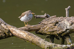 Spotted Sandpipers in Spring Valley Pond