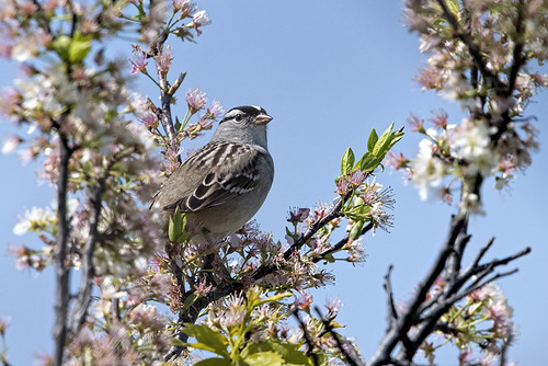 Sandy Hook: White-crowned Sparrow