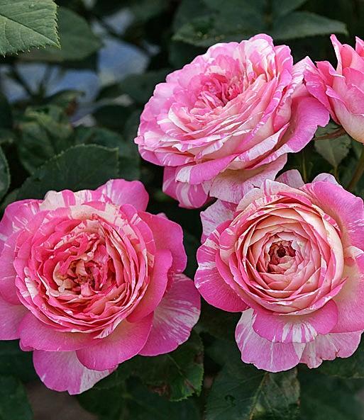 Flower - Rosen - Marc Chagall - Malerrose