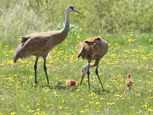 Sandhill Crane feeding colts 05-20190510