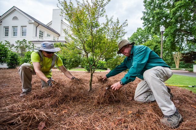 Workers tend to a Japanese Maple to the side of the President's Home