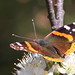 Red Admiral at Sandy Hook