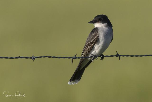 Easterrn Kingbird