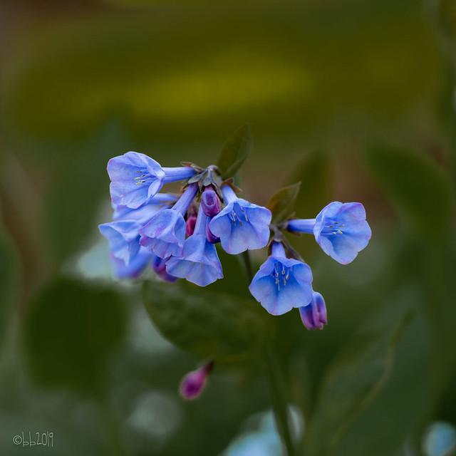 Blue in my garden!