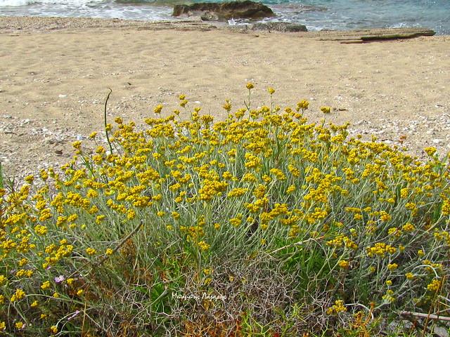 8_Helichrysum stoechas