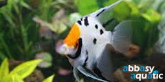 three color angelfish