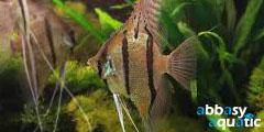 altum peruvian angelfish