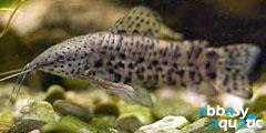 hoplo catfish
