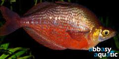 Red rainbowfish