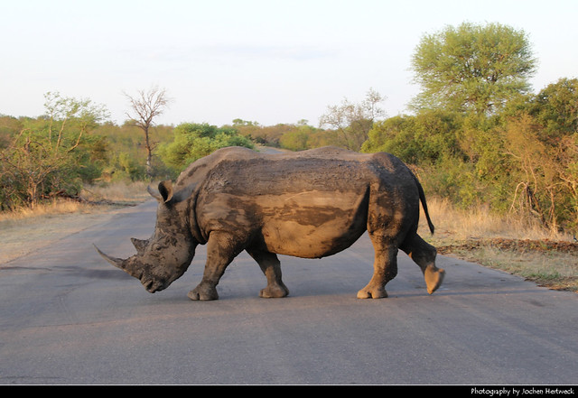 White rhinoceros crossing the road, Kruger NP, South Africa