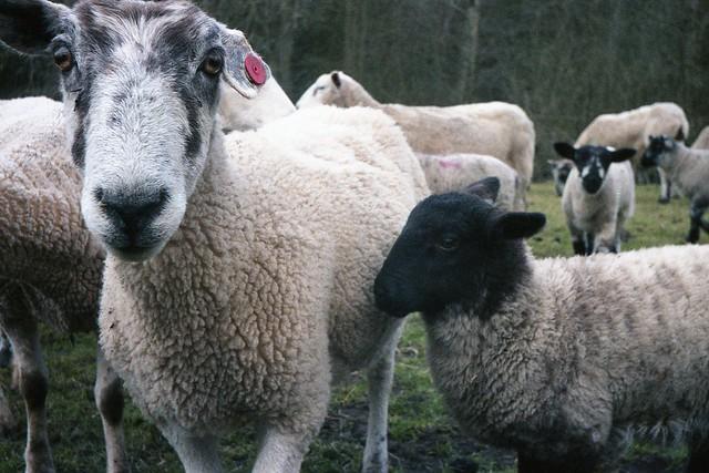 Eighties Sheep ... (1986)