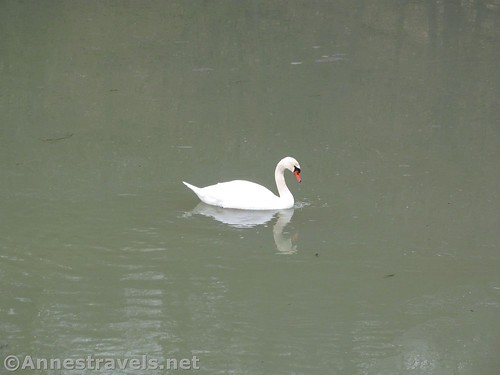 One of the swans out in the open water at Turning Point Park along the Genesee Riverway Trail in Rochester, New York