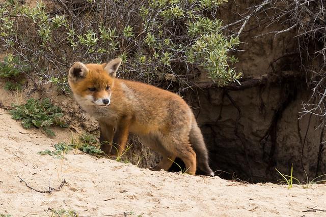 Young Fox | Vossenwelp