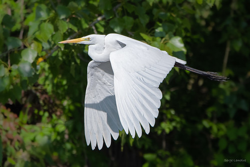 Grande Aigrette - Great Egret | by Serge Lemaire