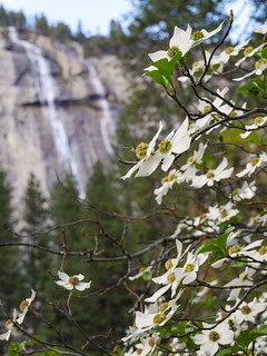 Valley Dogwoods | by snackronym