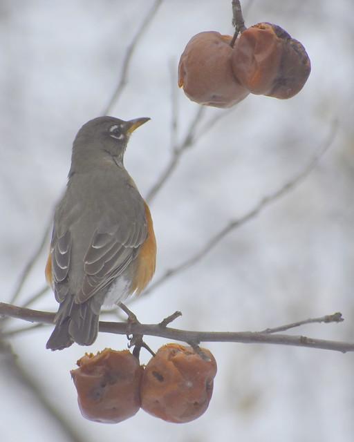 Robin eating crabapples