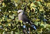 Dickinson's Kestrel  (Falco dickinsoni) by Ian N. White