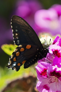 The California Pipevine Swallowtail