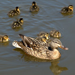 Young duck family