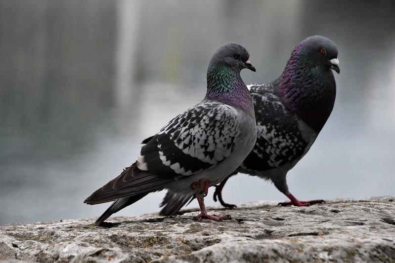 pigeons 18.05 (5)