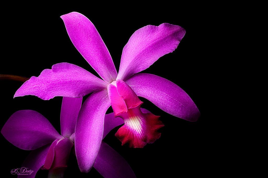Cattleya Warneri