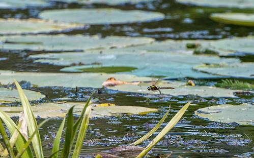 Downy emerald - Cordulia aenea - Smaragdlibel