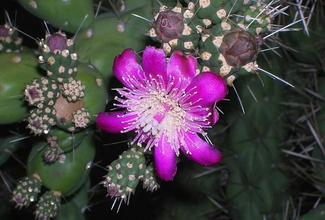 Blossom of Chain Fruit Cholla Cactus, a.k.a. Jumping Cholla (Opuntia fulgida).