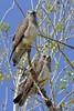 Swainson's Hawks (Buteo swainsoni), Barr Lake State Park, Colorado by Daniel J. Field
