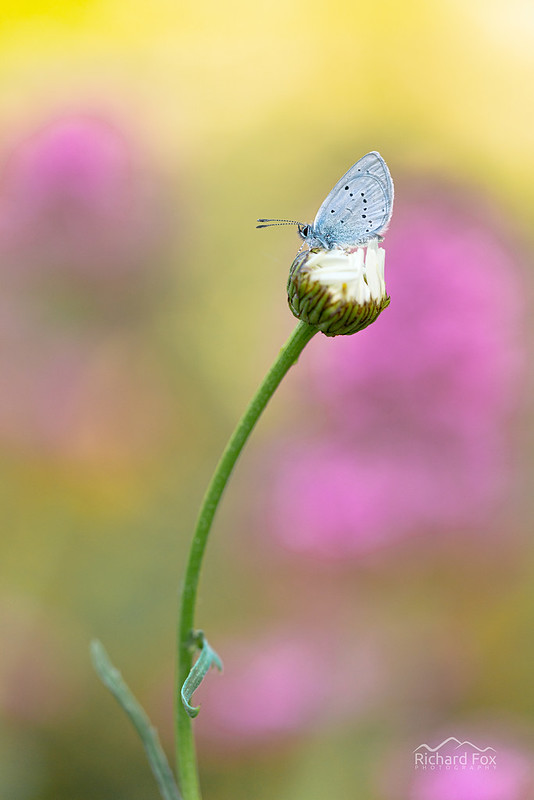 Small Blue | Cupido minimus