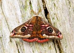 68.001 Emperor Moth - Saturnia pavonia